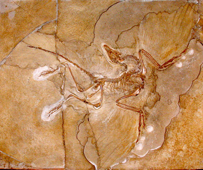 Evoluce - Archaeopteryx lithographica