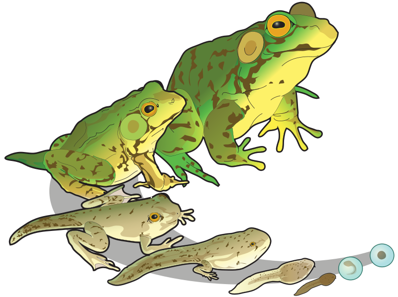 Životní cyklus žab (autor: LadyofHats; Creative Commons CC0 1.0 Universal Public Domain Dedication)